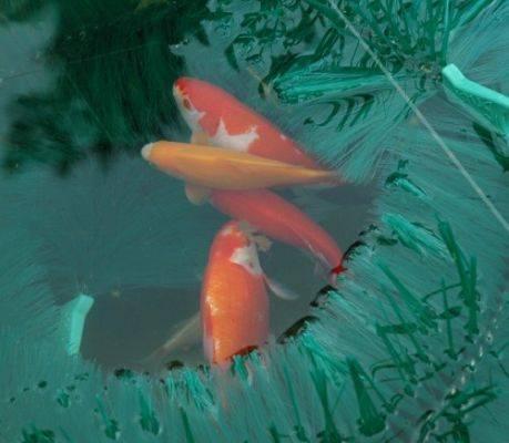 carpe koi reproduction bassin