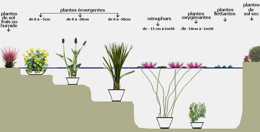 comment planter nenuphar