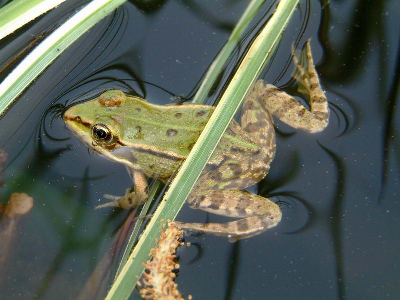 grenouille bassin jardin