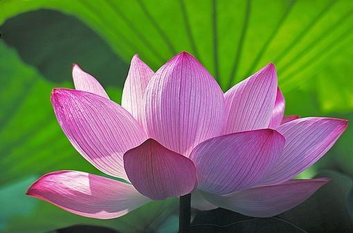 les lotus