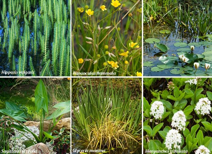 plante de berge bassin