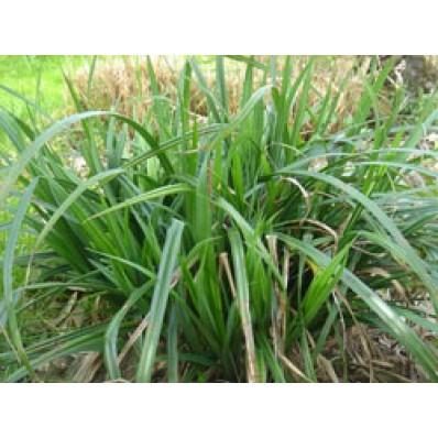 plante de marecage