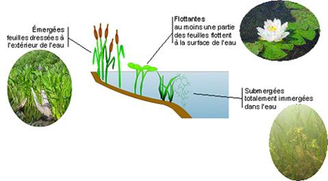 plante des lacs