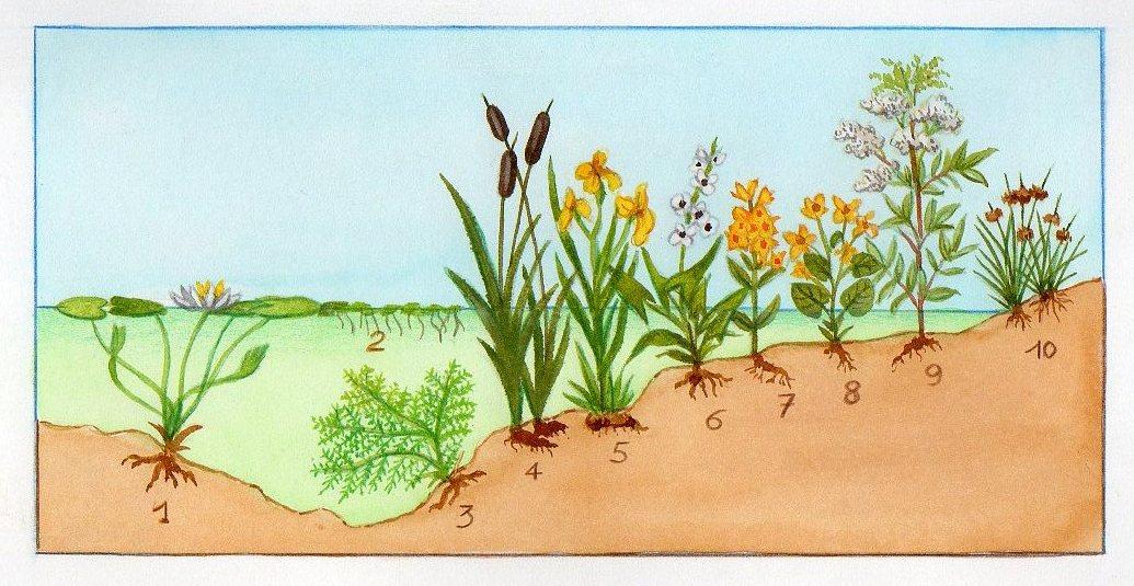 plantes de rives